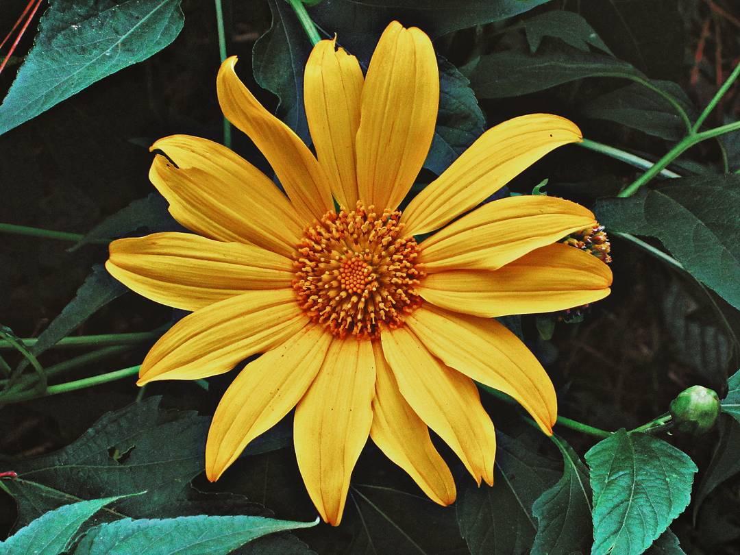 Như mọi năm, dã quỳ thường hay ra hoa khi mùa mưa tạnh ráo, những tia nắng đầu thu kéo theo sắc dã quỳ vàng tươi nở rộ trên những con đường ...